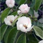 1kweepeer-bloem